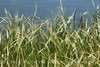 Blurry Grasses (14)