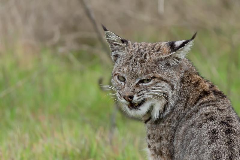 A bobcat smile.....