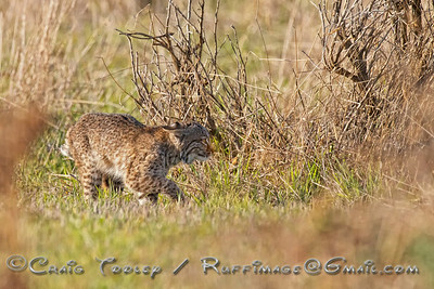 Little Bobcat thinks he can stand up to a 6 prong Buck