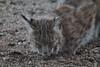 20170526_Bobcat-FrontYard_66