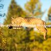 Bobcat Leap