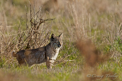 Little Bobcat enjoys the warm mornings sun.