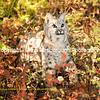 Bobcat in color