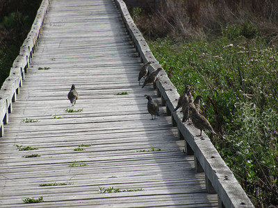 I had taken the trail south to the bridge across the marsh where I found a group of quail.