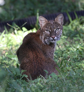bobcat Melbourne florida
