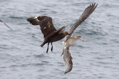 South Polar Skua chasing a California Gull