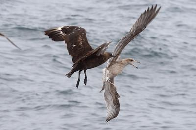 South Polar Skua chasing a California Gull