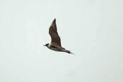 Adult Parasitic Jaeger
