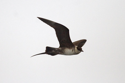Second cycle Long-tailed Jaeger