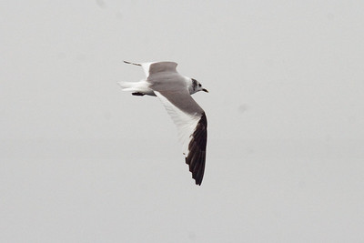 Adult Sabine's Gull