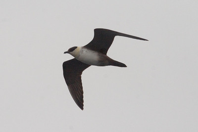 Adult Long-tailed Jaeger
