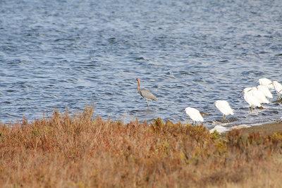 Rare Brown Egret