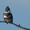Belted Kingfisher, Female