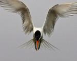 Flying Angel - Elegant Tern