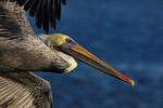 Flying Brown Pelican Portrait