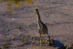 Curious Green Heron