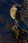Shy Night Heron -Juvenile Black-Crowned Night Heron