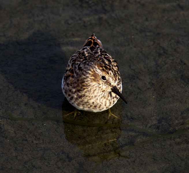 Little Bird Sandpiper- Least Sandpiper