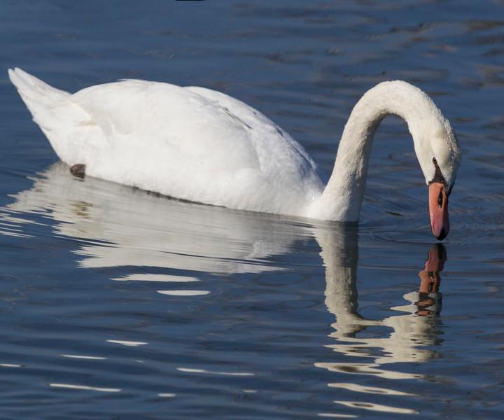 Tundra Swan, Bolsa Chica Wetlands