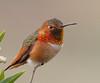 Allen's Hummingbird , Bolsa Chica Wetlands