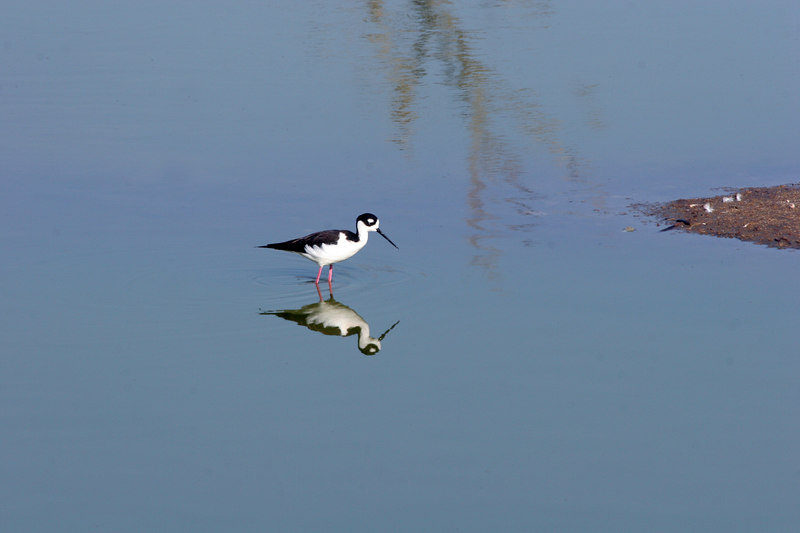 Black-necked Stilt, Bolsa Chica Wetlands