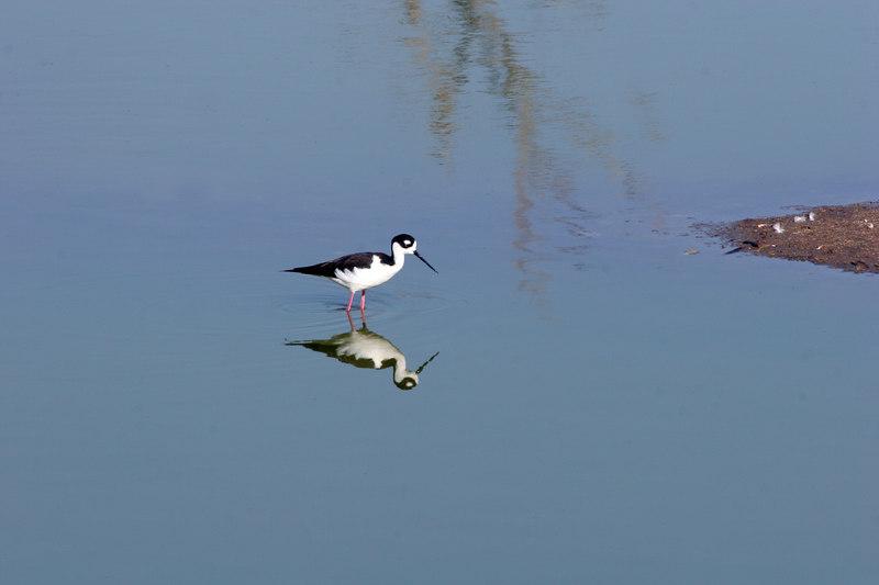 Black-necked Stilt, Bolsa Chica Wetlands
