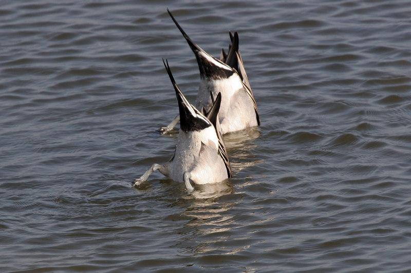 Northern Pintail butts, Bolsa Chica Wetlands