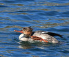 Red-breasted Merganser, Bolsa Chica Wetlands