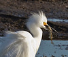 Snowy Egret with fish,  Bolsa Chica Wetlands