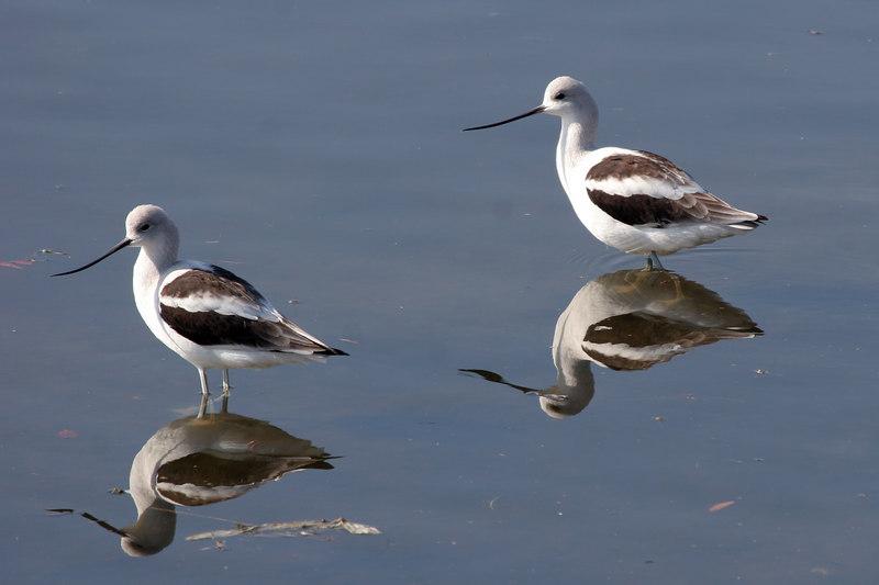 American Avocet, Bolsa Chica Wetlands