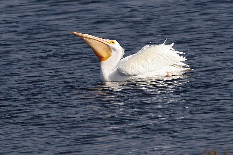 White Pelican, Bolsa Chica Wetlands
