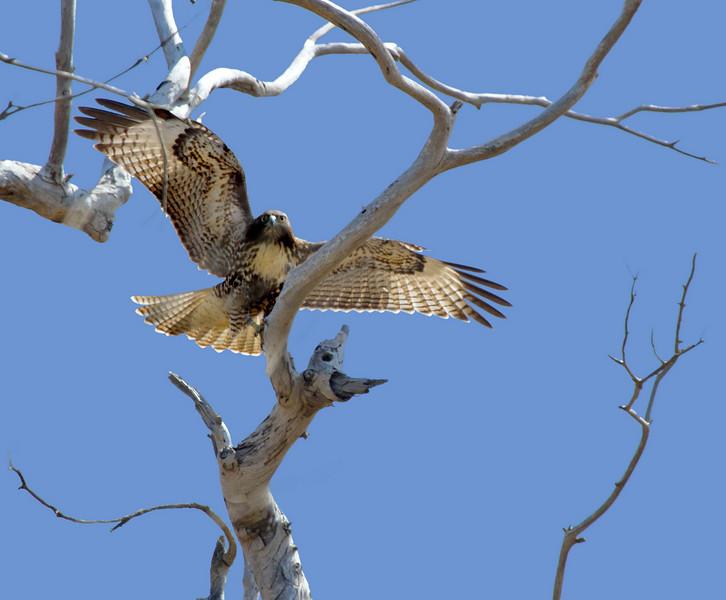 Red-tailed Hawk, Bolsa Chica