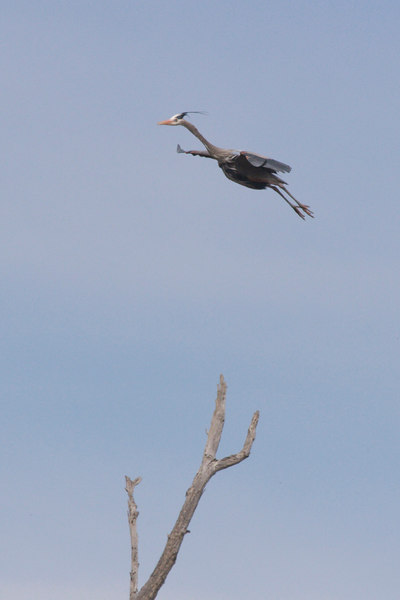 Great Blue Heron, Bolsa Chica Wetlands  Looks like a high jumper, but is really putting on the brakes so it can land in the top of the dead tree