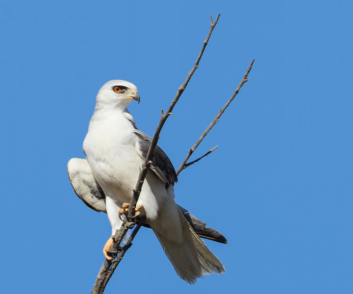 White-tailed Kite, Bolsa Chica Wetlands