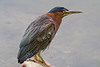 "Green Heron, Bolsa Chica Wetlands. This picture is also part of the Smithsoiam Migratory Bird Exibit CLICK to See <a href=""http://nationalzoo.si.edu/scbi/migratorybirds/featured_photo/photographer.cfm?photographer=John_Hannan"">http://nationalzoo.si.edu/scbi/migratorybirds/featured_photo/photographer.cfm?photographer=John_Hannan</a>"