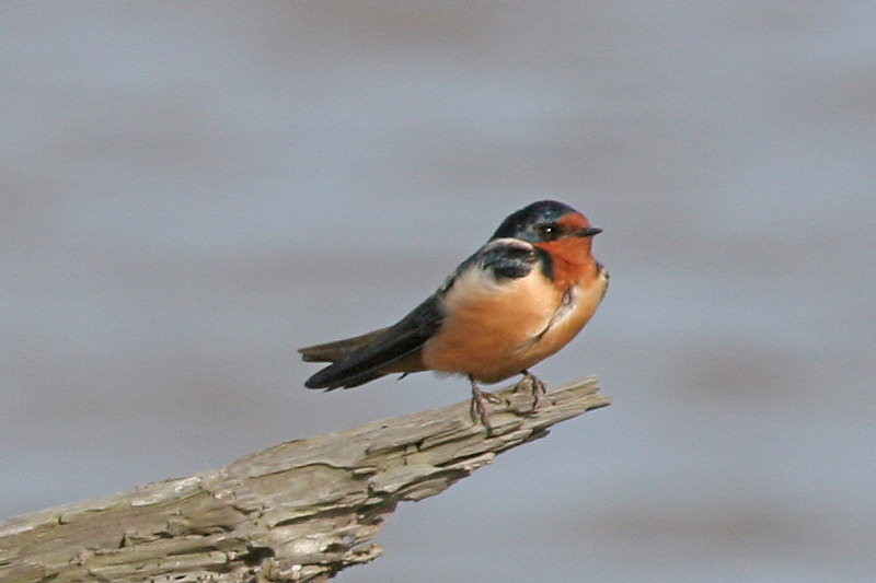 Barn Swallow, Bolsa Chica Wetlands