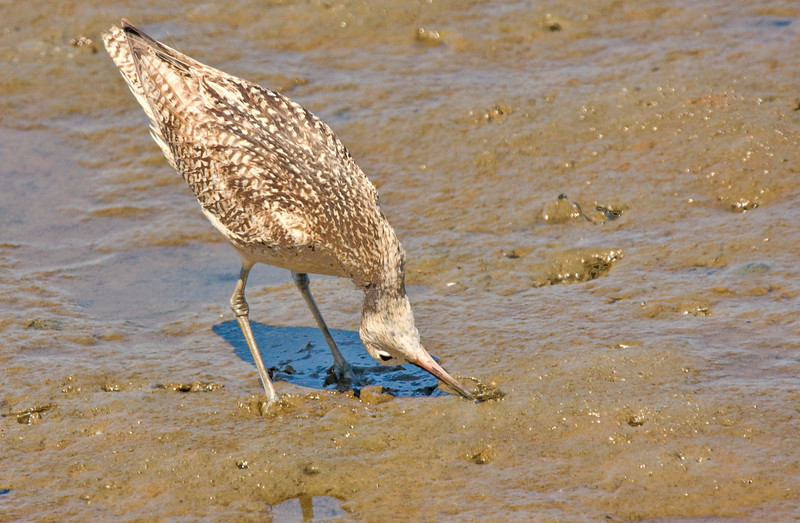 Long-Billed Curlew Bolsa Chica - This long down-turned bill allows  the Curlew to dig deep for food.