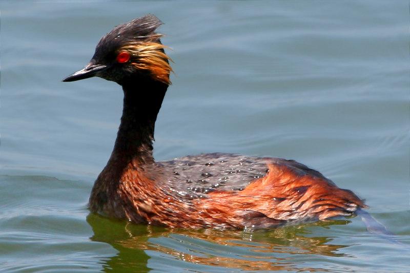 Eared Grebe, Bolsa Chica Wetlands