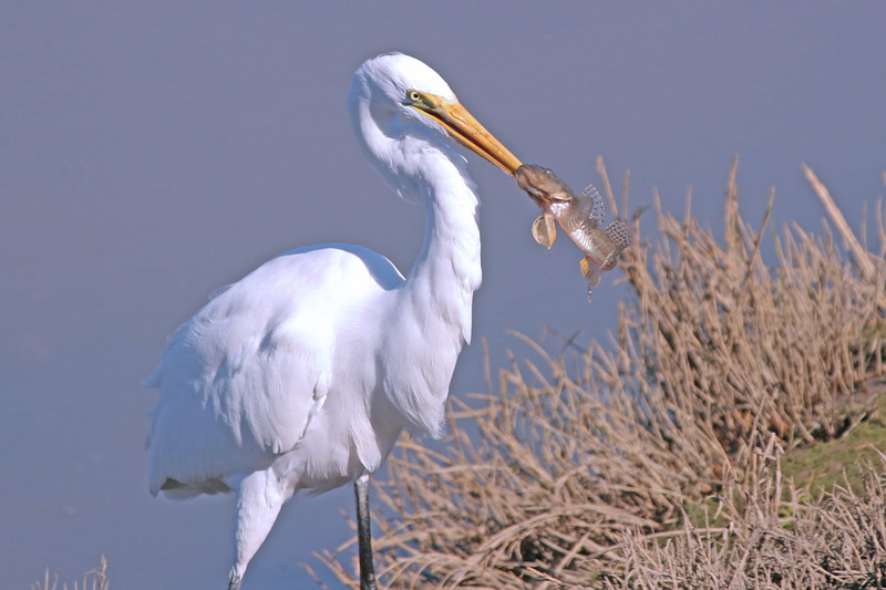 Great Egret, Bolsa Chica Wetlands