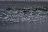 Terns swarm over Bolsa Chica