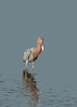 Reddish Egret looking for a fish