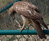 Red-tailed Hawk and Snake