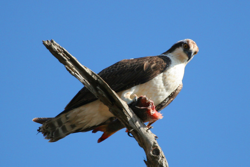 Osprey enjoying his fish lunch, Bolsa Chica Wetlands
