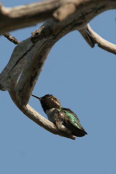 Humming Bird, Bolsa Chica Wetlands