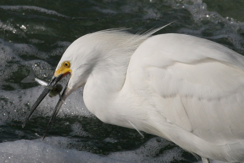 Snowy Egret, Bolsa Chica Wetlands