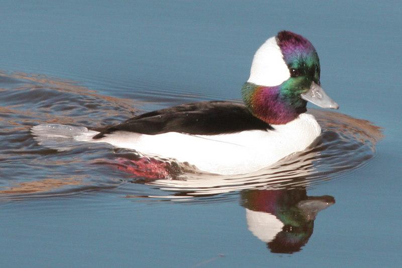 Bufflehead, Bolsa Chica Wetlands