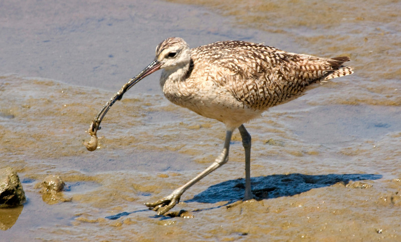 Long-Billed Curlew Bolsa Chica - Here it has a small mud crab which it will wash off before it eats.