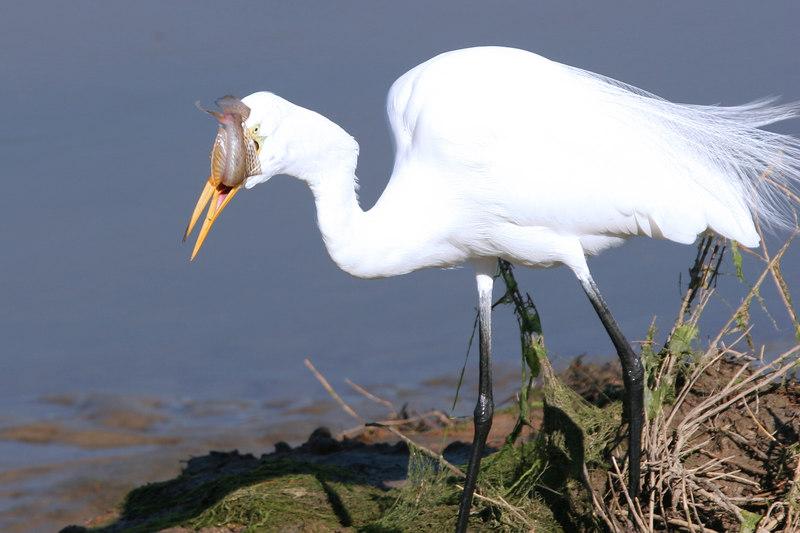 Great Egret , Bolsa Chica Wetlands