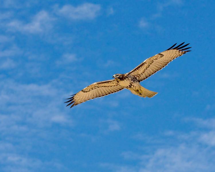 Red-Tail Hawk, Bolsa Chica Wetlands