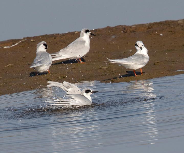 Forster's Tern, Bolsa Chica Wetlands
